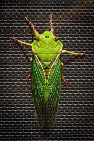 The Green Grocer Cicada smiling - one of the loudest insects in the world on dark background Stock Photo