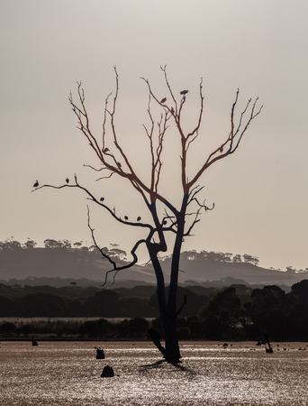 Bare tree in a swamp with birds sitting on branches. Kangaroo Island, Australia