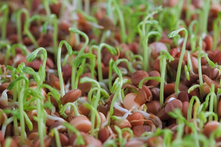 Lentil sprouts extreme closeup. Shallow depth of field