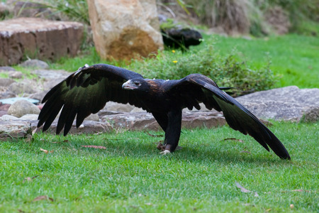 Wedge tailed Eagle spreading huge wings Stock Photo