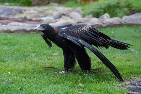 Wedge-tailed eagle standing on grass preparing for flight