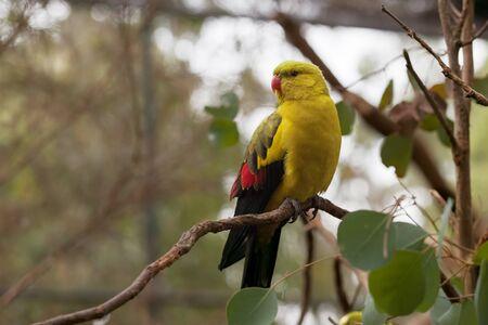regent: Regent Parrot - perching slim long-tailed parrot perching on tree branch closeup