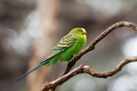 undulatus: Budgerigar - song parrot perching on tree branch closeup Stock Photo