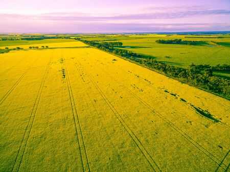 Canola field at glowing sunset in Australia - aerial view