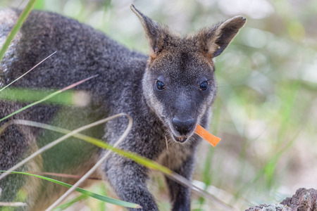 Pademelon eating- native Australian marsupial mammal Stock Photo