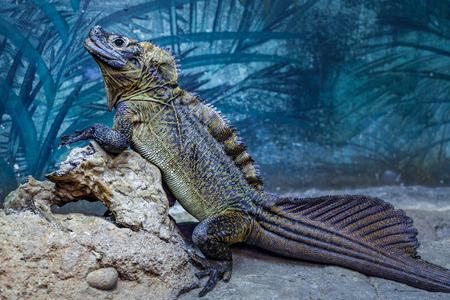 Sailfin Lizard resting on rocks