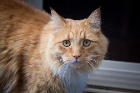 Ginger cat staring intensely into the camera Stock Photo