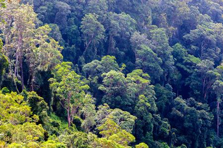 Eucalyptus forest in Queensland, Australia