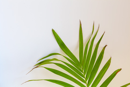 Fragment of Majesty Palm against white wall with copy space