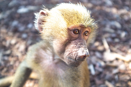 Baby baboon monkey closeup portrait