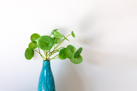 Chinese Money Plant in a vase in front of white wall with copy space, Stock Photo - 103353054