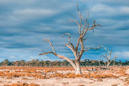 Dead barren gum tree in native Australian Landscape