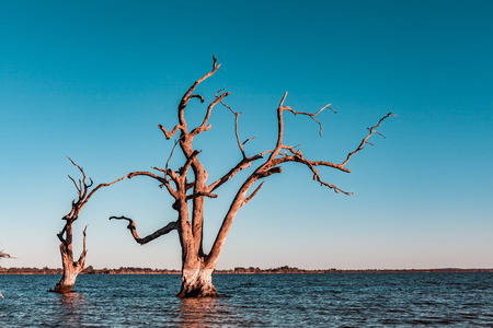 Dead trees flooded in the water of Lake Bonney in Riverland, South Australia Banque d'images