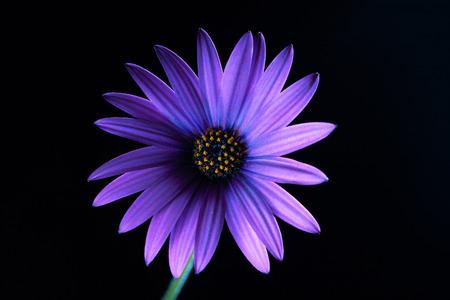 Glowing violet African daisy on black - studio shot Stok Fotoğraf