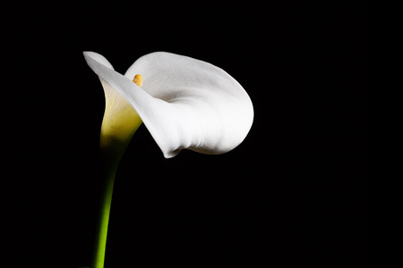 White Calla lily flower on black background with copy space