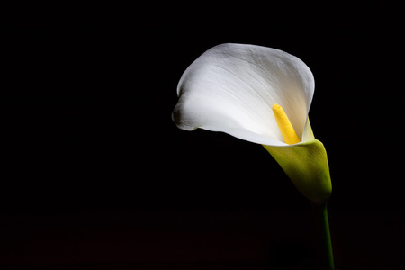 Glowing Calla lily isolated on black with copy space Stock Photo
