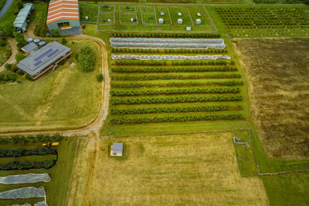 Looking down at rows of cherry trees on a farm - aerial view Banco de Imagens
