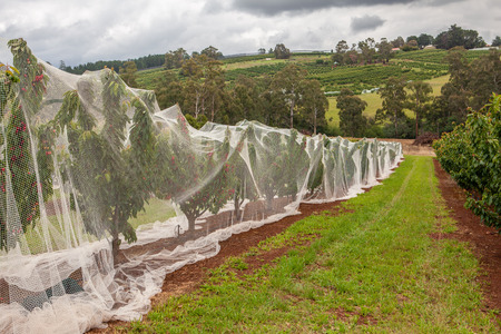 Rows of cherry trees covered with protective white netting 写真素材