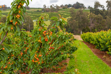 Cherries ripening on trees in cherry farm