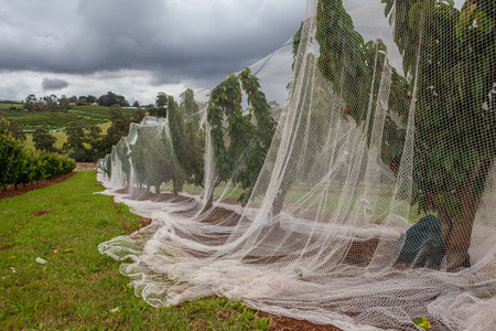 White protective netting covering row of cherry trees 写真素材
