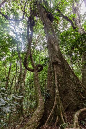Lianas and strangler fig in wild rainforest in Australia