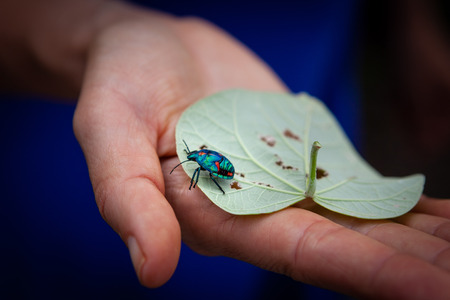 Woman holding leaf with Hibiscus Harlequin Bug closeup