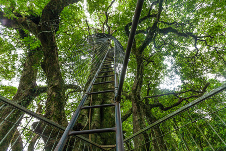 Looking up the huge ladder up the tree at Lamington tree top walk in Queensland, Australia