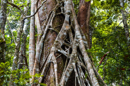 Closeup of strangler fig tree in a rainforest Stock Photo
