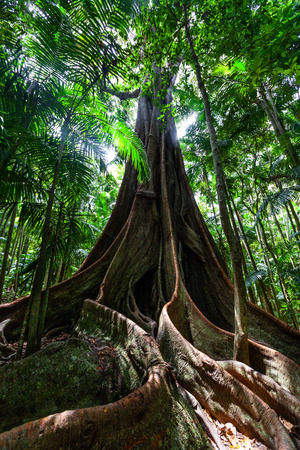 Beautiful enormous fig tree roots in a temperate rainforest in Queensland, Australia