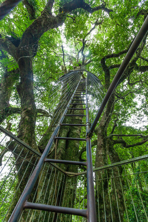 Lamington tree top walkway - metal ladder up a tall tree into the canopy in the rainforest. OReily, Queensland, Australia