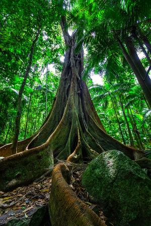 Beautiful big fig tree with huge root system in rainforest 写真素材