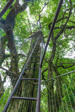 Tall ladder leading up a tree at Lamington tree top walkway in Queensland, Australia