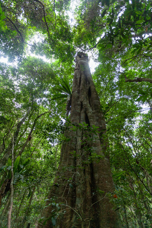 Looking up at tall Strangler fig tree and rainforest canopy in Australia