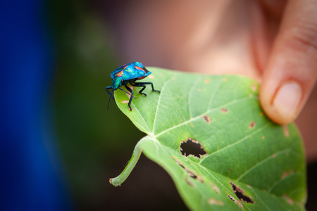 Hibiscus Harlequin Bug on a green leaf held by woman hand Archivio Fotografico