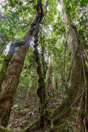 Looking up tall trees and lianas in a rainforest