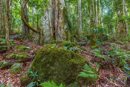 Boulder covered with moss in a lush rainforest. Queensland, Australia