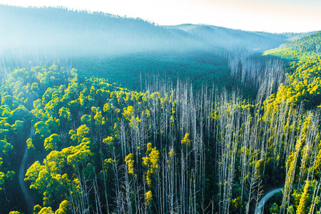 Tall eucalyptus trees in the early morning mist - aerial view 免版税图像