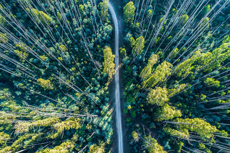 Aerial view - looking down at dirt road among tall eucalyptus trees