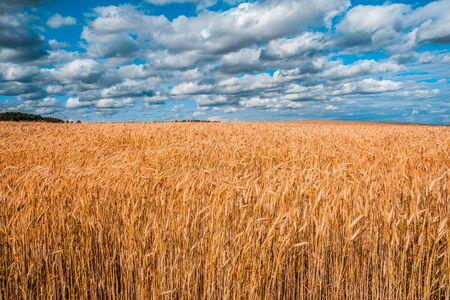 Scenic wheat field under cloudy sky in Belarus