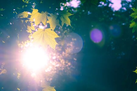 Bright sunlight with lens flare shining through maple leafs on blurred backround - autumn mood
