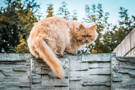 Ginger cat on stone fence intimidating the photographer