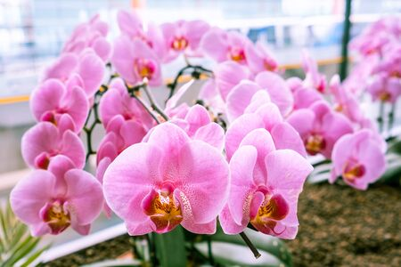 Beautiful pink orchids on blurred background