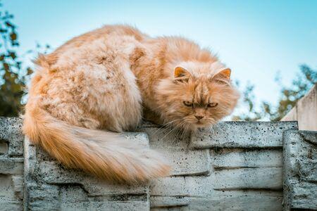 Ginger cat closeup portrait on blurred background