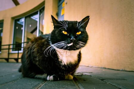 Black cat with white spot and yellow eyes squinting into the camera Stockfoto