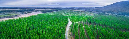 Aerial panorama of pine trees plantation in Melbourne, Australia Фото со стока - 128283290
