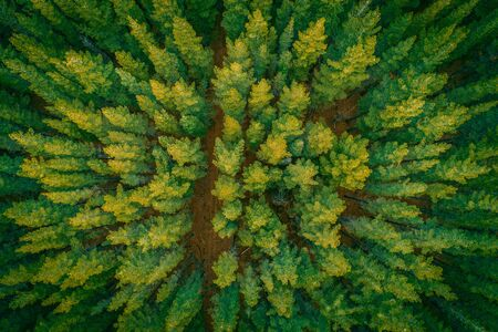 Beautiful aerial top down view of pine tree tops at sunset Stockfoto