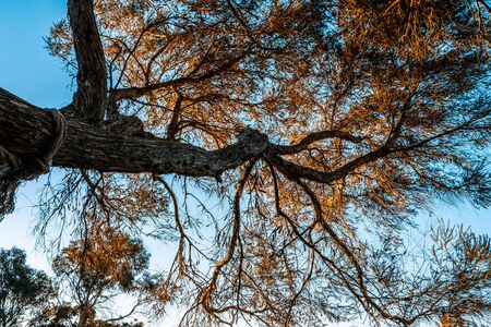 Looking up at native tree in Australia at sunset