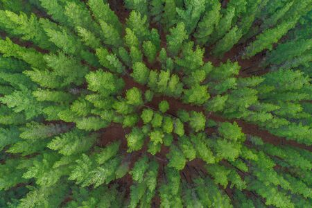 Aerial view of pine tree tops in Melbourne, Victoria, Australia