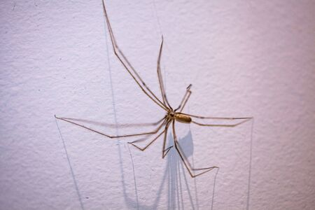 Daddy Long Legs spider on white wall with long shadows and shallow focus Stockfoto - 128283392