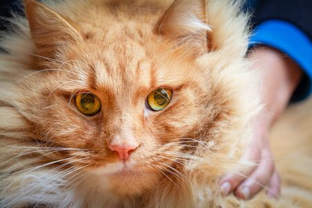 Person holding large ginger cat - close-up